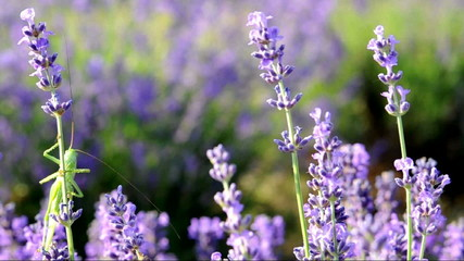 Green Grasshopper on lavender