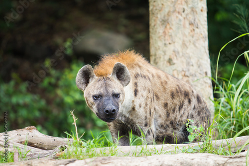 Papiers peints Hyène Hyena in the wild
