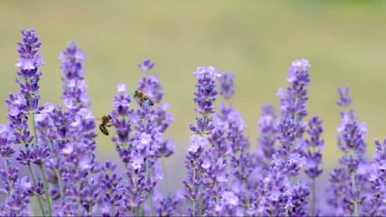 Honey Bees in lavender  (Lavandula angustifolia)
