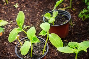 Anzucht von Gurkenpflanzen