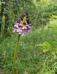 Orchis purpurea, the lady orchid