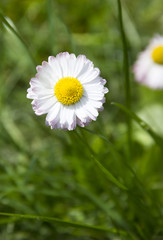 White marguerite flower in green grass