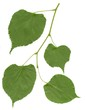twig of linden tree with green leaves