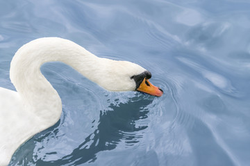 Female white swan drinking water on the Seine River