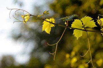 Young growing grapevine