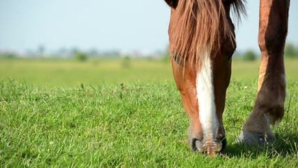 Muzzle horse nips on meadow green grass. Close up.