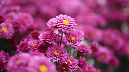 beautiful chrysanthemums flowers with wind blow