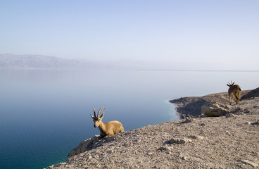 Dead Sea and Nubian ibex group, Israel