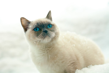 Siamese cat  in snow
