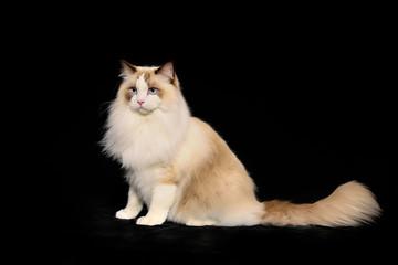 Purebred norwegian forest cat