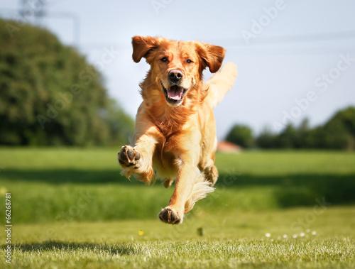 canvas print picture Golden retriever dog