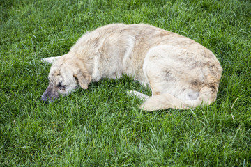 street dog sleeping on the grass