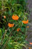 Poppy wild orange colour flowers against green foliage