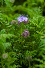 Green manure phacelia tanacetifolia flower and crop