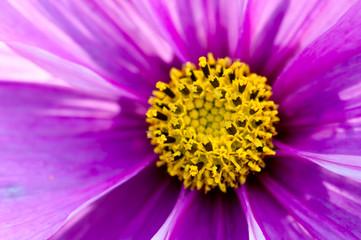 Plant, Asteraceae, Cosmos bipinnatus, Pink Flower, macro