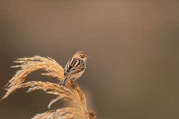 Pallas's Reed Bunting (Emberiza pallasi) in Japan