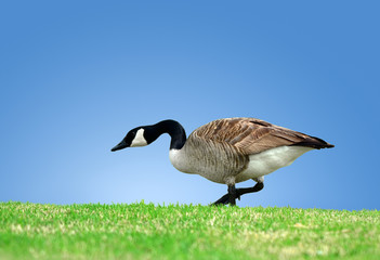 Canada Goose strolling in grass against blue sky