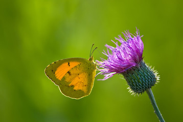 Sleepy Orange butterfly (Eurema nicippe) on Thistle, backlit