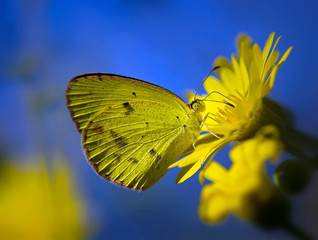 Little Yellow butterfly (eurema lisa) on yellow flowers