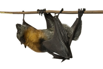 Fruit bat (flying fox) upside down on white background.