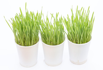 Cup of wheat grass on white background