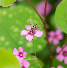 oxalis flower and fruit bat fly