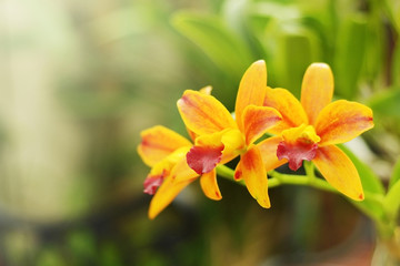 close up yellow Cattleya orchid with green garden background