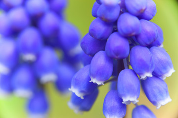 Close-up of flowers of Muscari