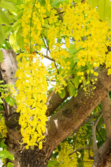 Yellow flower of Golden shower tree