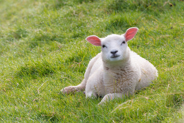 Curiously looking lamb