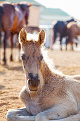 Portrait of the foal lying in the shelter, against adult horses