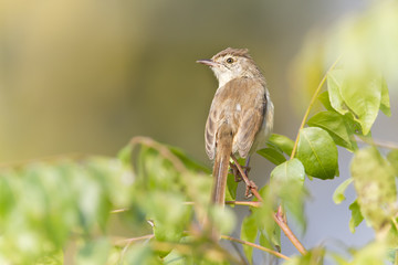 Plain prinia bird in Nepal
