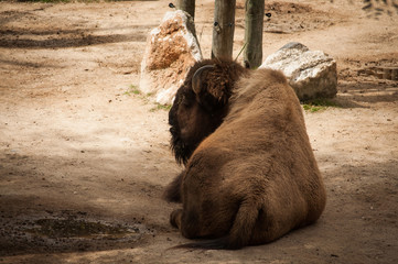 buffalo in Lisbon Zoo