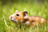 Hamster on lawn closeup