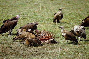 carcassa predatori avvoltoi necrofori grifone masai mara