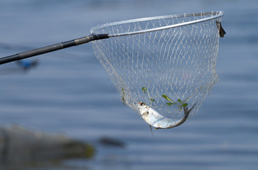 Landing net and sabrefish