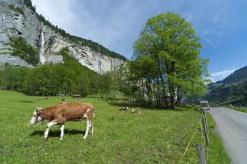 Cow in Lauterbrunnen valley, Switzerland