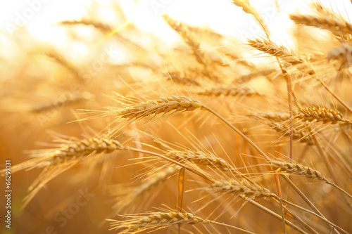 Wheat field - 66297131