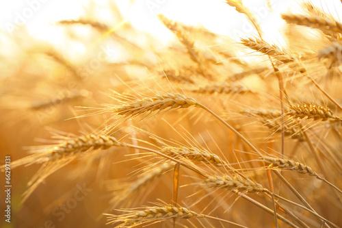 Papiers peints Nature Wheat field