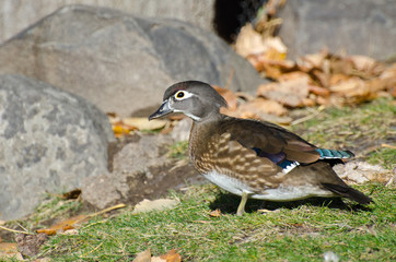 Female Wood Duck in Autumn