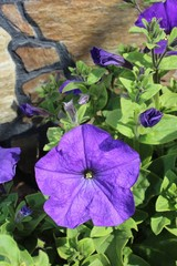 Petunia flowers blooming in the garden