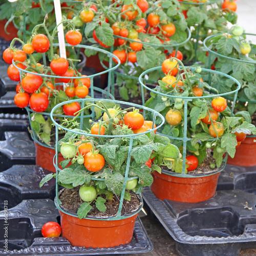 canvas print picture Tomates en pot pour balcon