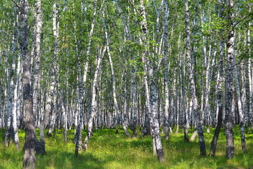 birch wood in the summer.