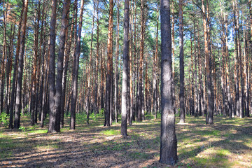 Pine wood in the summer.