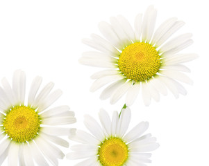 Daisies isolated on white background