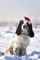 Christmas Spaniel in Snow