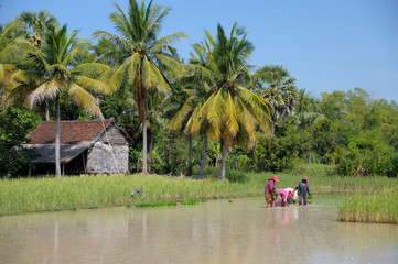 Rice planting in the Cambodian region of Siem Reap