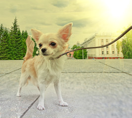 chihuahua walking