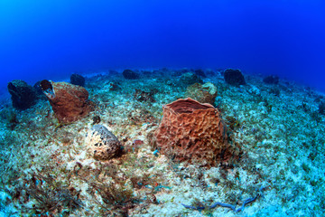 Giant barrel sponges in the caribbean sea