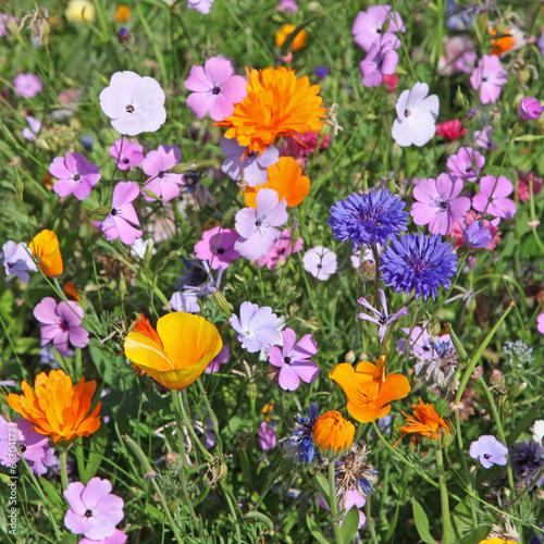 In de dag Poppy jachère fleuri